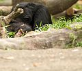 Hello, Human... (SINGAPORE ZOO-CHIMPANZEE-ANIMALS-GREETING) V (752719161).jpg