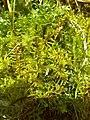 Helodium blandowii.jpg