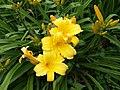 Hemerocallis Mary Todd (Daylily).jpg