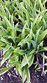Hemerocallis fulva - leaves.jpg