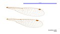 Hemiphlebia mirabilis female wings (33985042264).jpg