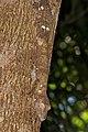 Henkel's leaf-tailed gecko (Uroplatus henkeli) Lokobe.jpg