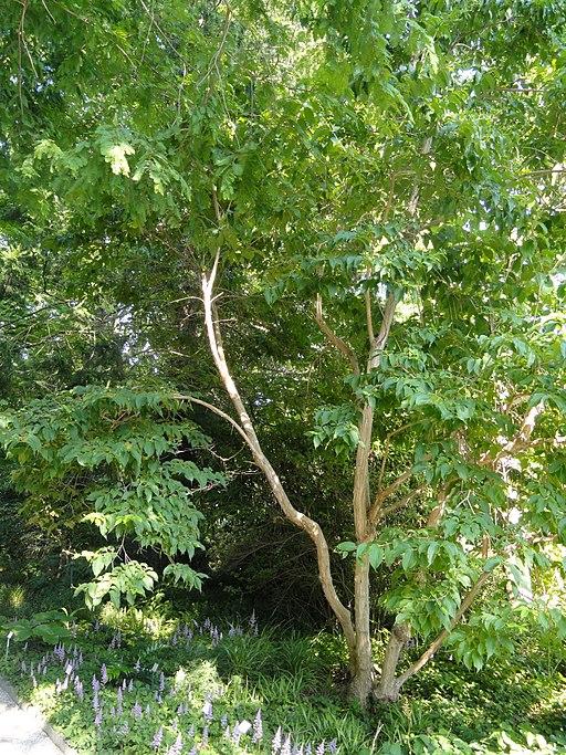 Heptacodium miconioides - Botanischer Garten, Frankfurt am Main - DSC03381