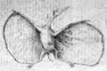 Hermann pterodactylus restoration1.png