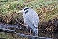 Heron - Southpark - TheHague (9928138966).jpg