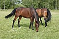 Hevoset kesälaitumella 12.jpg