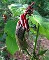 Hibiscadelphus giffardianus (1).jpg