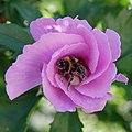 Hibiscus (Hibiscus syriacus) et bourdon (Bombus) (2).jpg