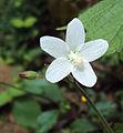 Hibiscus lobatus - Lobed Leaf Mallow.JPG