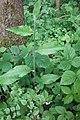 Hieracium laevigatum stem (02).jpg