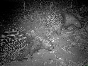 Malayan porcupine - Two Himalayan crestless porcupines in a seed plot in Arunachal Pradesh, India