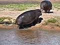 Hippo, Ruaha National Park (15) (28636038182).jpg