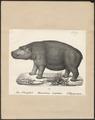Hippopotamus amphibius - 1700-1880 - Print - Iconographia Zoologica - Special Collections University of Amsterdam - UBA01 IZ21900051.tif