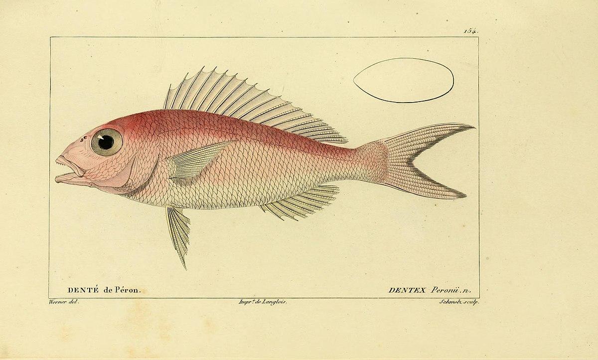 Nemipterus peronii wikispecies for Histoire des jardins wikipedia