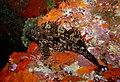 Hiwihiwi - Chironemus marmoratus - Poor Knights Islands.jpg