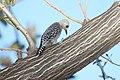 Hoffmanns Woodpecker (Melanerpes hoffmannii) (5772324368).jpg