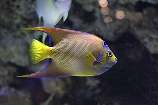 Queen angelfish species of fish