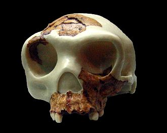 "Homo antecessor - Reconstruction of the ""Boy of Gran Dolina"" cranium (Museu d'Arqueologia de Catalunya, Barcelona)"