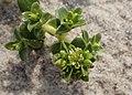 Honckenya peploides kz15.jpg