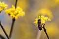 Honey bee and sanshuyu (13435220324).jpg