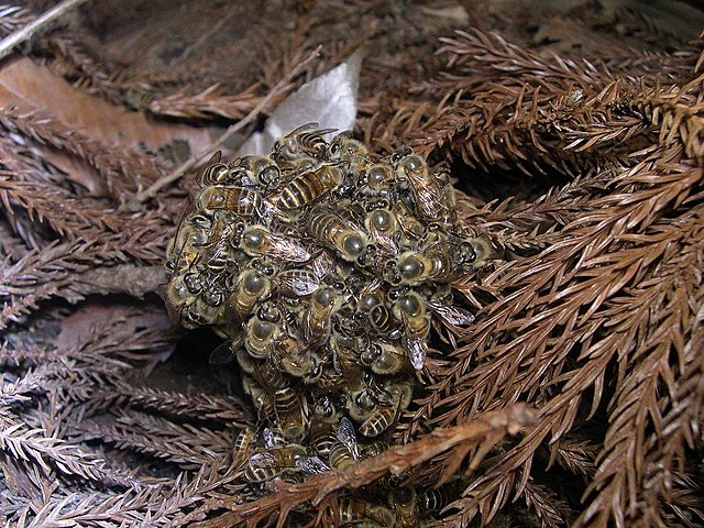 Heat ball di api orientali per cuocere il calabrone gigante