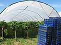 Hoop house strawberry growing in Selling, Kent - geograph.org.uk - 1370447.jpg