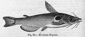 Horabagrus - Horabagrus brachysoma
