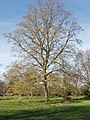 Hornbeam, Carpinus Betulus, at Kew - geograph.org.uk - 362362.jpg