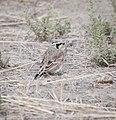 Horned lark at Seedskadee (14651650680).jpg