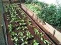 Horta de alface.jpg