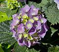 Hortensia (Hydrangea macrophylla), Calatayud, España 2012-05-16, DD 04.JPG