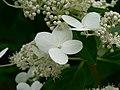 Hortensia paniculata - panoramio.jpg