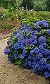 Hortensias azules (Hydrangea) en Galicia, España.jpg