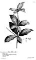 Hortus Cliffortianus Rauvolfia.png