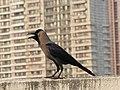 House Crow Corvus splendens by Raju Kasambe DSCN0468 (7) 02.jpg