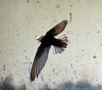 House swift I2 IMG 3262 a.jpg