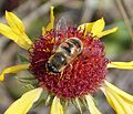 Hoverfly. Eristalis tenax - Flickr - gailhampshire.jpg