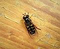 Hoverfly Eupeodes sp. (44658457794).jpg
