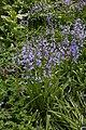Hyacinthoides × massartiana, Hortus Botanicus Amsterdam (27333683781).jpg