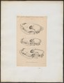 Hyaena spec. - schedel - 1833-1866 - Print - Iconographia Zoologica - Special Collections University of Amsterdam - UBA01 IZ22200111.tif