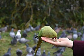 Hyde Park feral parakeets (02).jpg