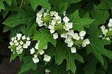 Hydrangea quercifolia BhamBotGdn.jpg