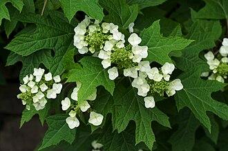 Hydrangea quercifolia - Image: Hydrangea quercifolia Bham Bot Gdn