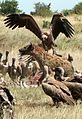 Hyena vs Vultures.jpg