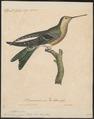 Hylocharis gigas - 1825-1834 - Print - Iconographia Zoologica - Special Collections University of Amsterdam - UBA01 IZ19100525.tif