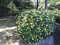 Hypericum calycinum in Fukuoka Prefectural Kasuga Park.jpg