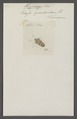 Hypoxys - Print - Iconographia Zoologica - Special Collections University of Amsterdam - UBAINV0274 040 03 0004.tif