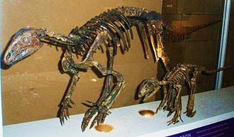 Hypsilophodon - Specimens NHM R5829 and R5830 at the Natural History Museum, London