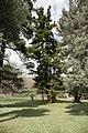 ID 983 Pinus strobus 004.jpg