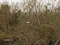 Ibis in Shark Valley^ - panoramio.jpg